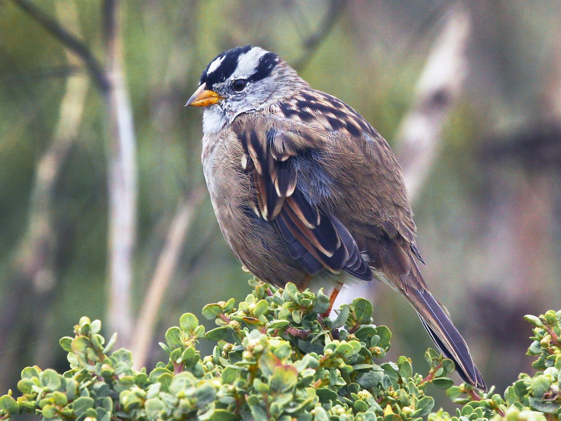 White-crowned Sparrow - Craig Fosdick