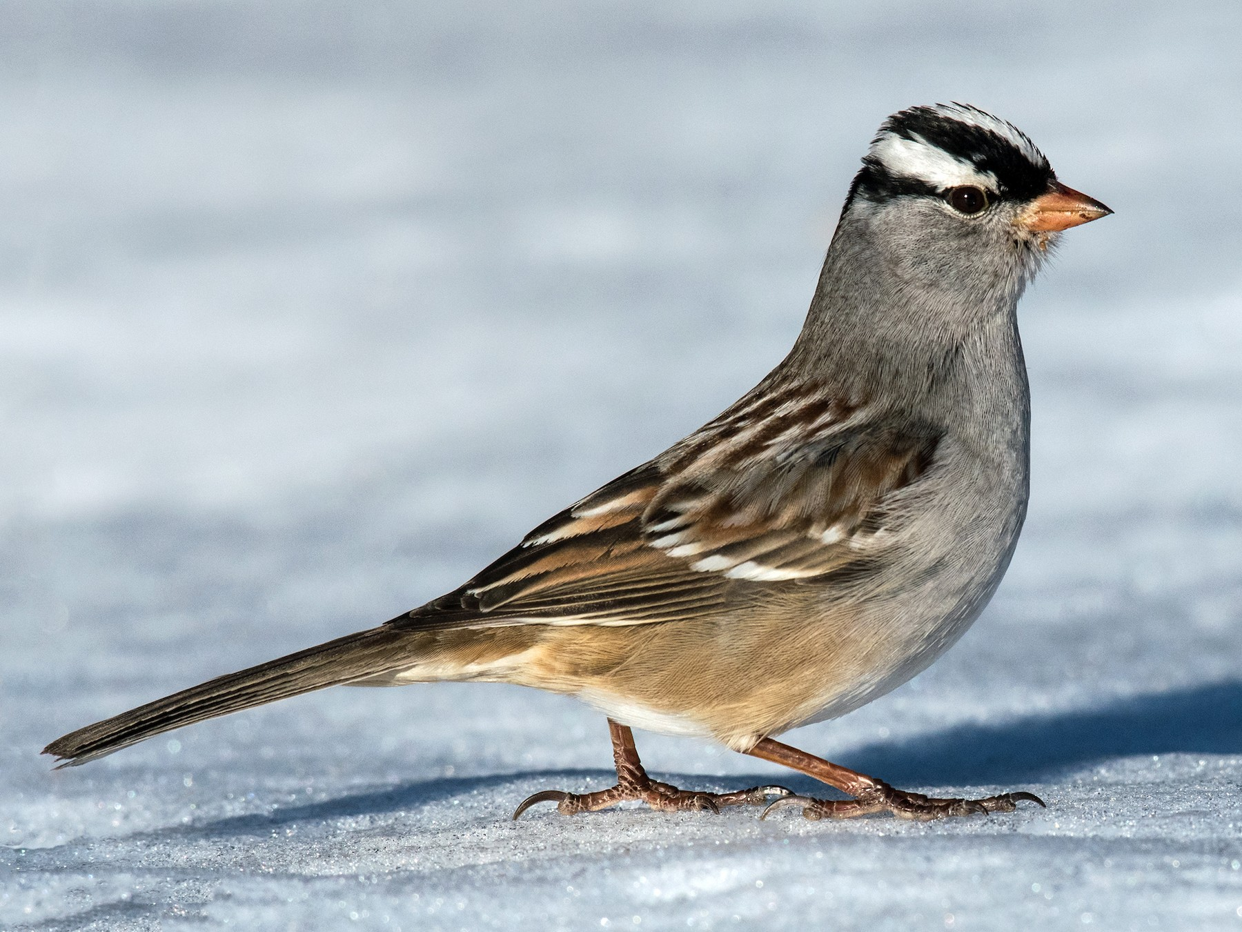 White-crowned Sparrow - Michel Bourque