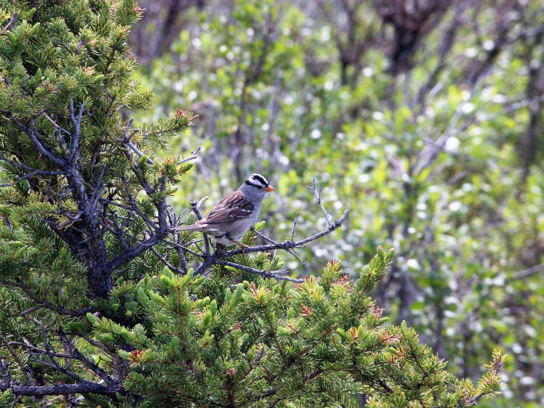 White-crowned Sparrow - Shannon Daniels