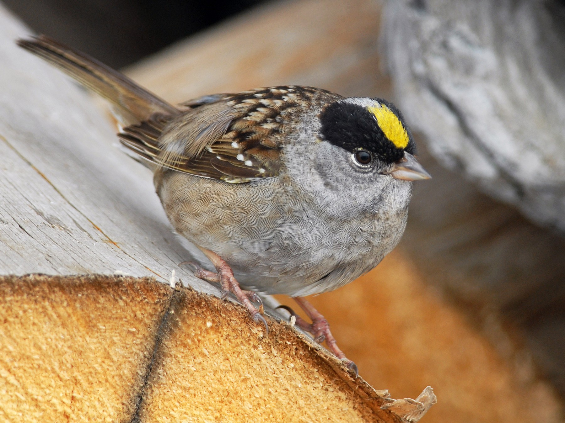 Golden-crowned Sparrow - Cameron Eckert