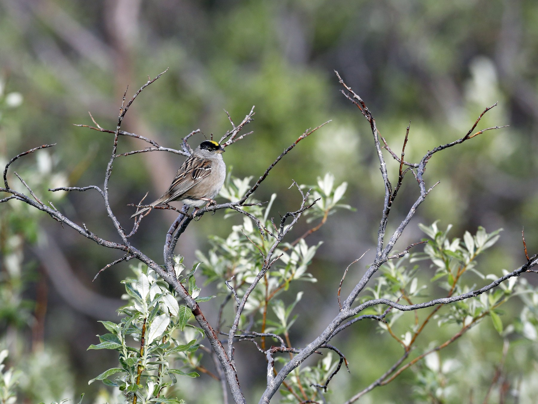 Golden-crowned Sparrow - Laura Keene