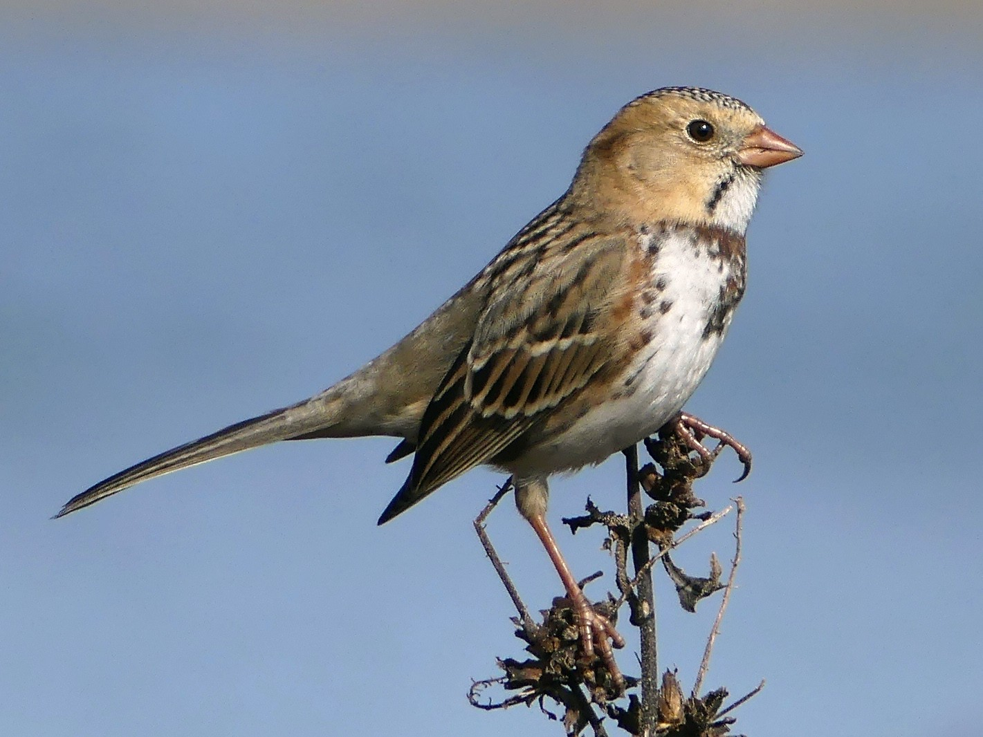 Harris's Sparrow - Shelley Rutkin