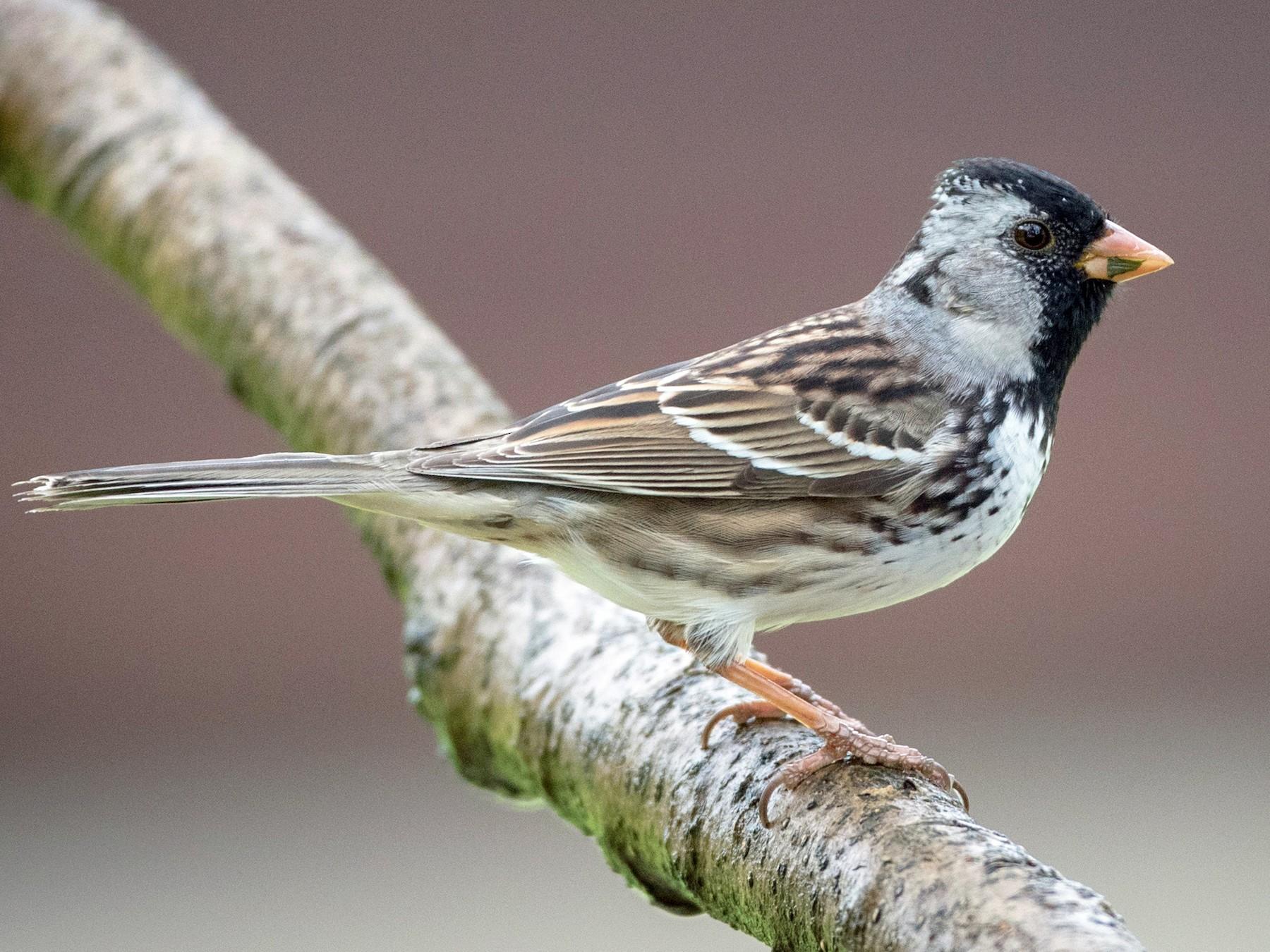 Harris's Sparrow - Ian Davies
