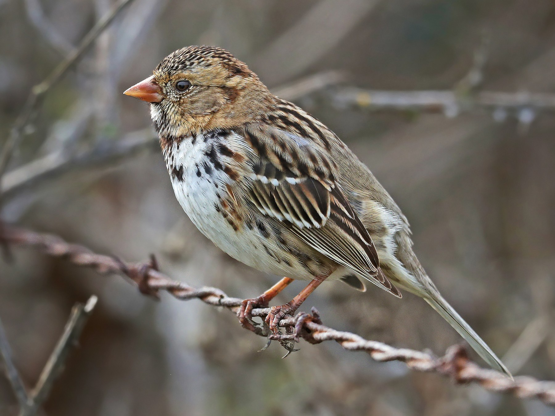 Harris's Sparrow - Matt Davis