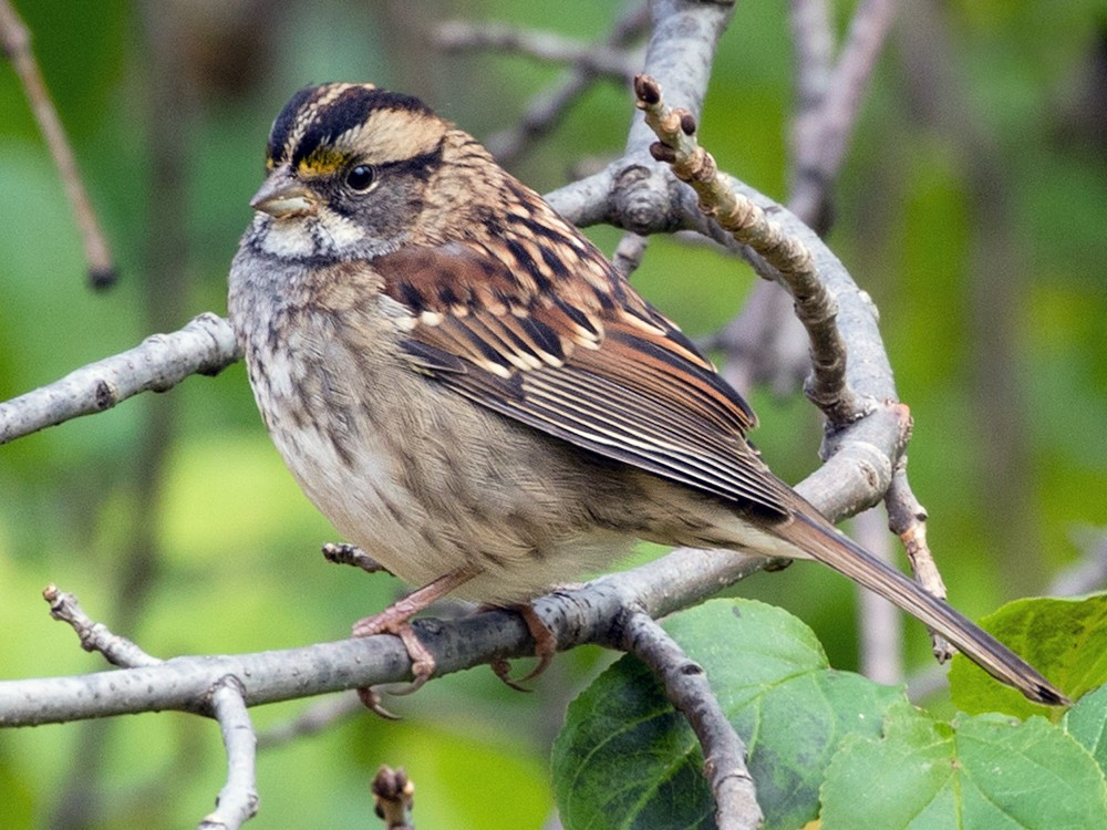 White-throated Sparrow - Suzanne Labbé