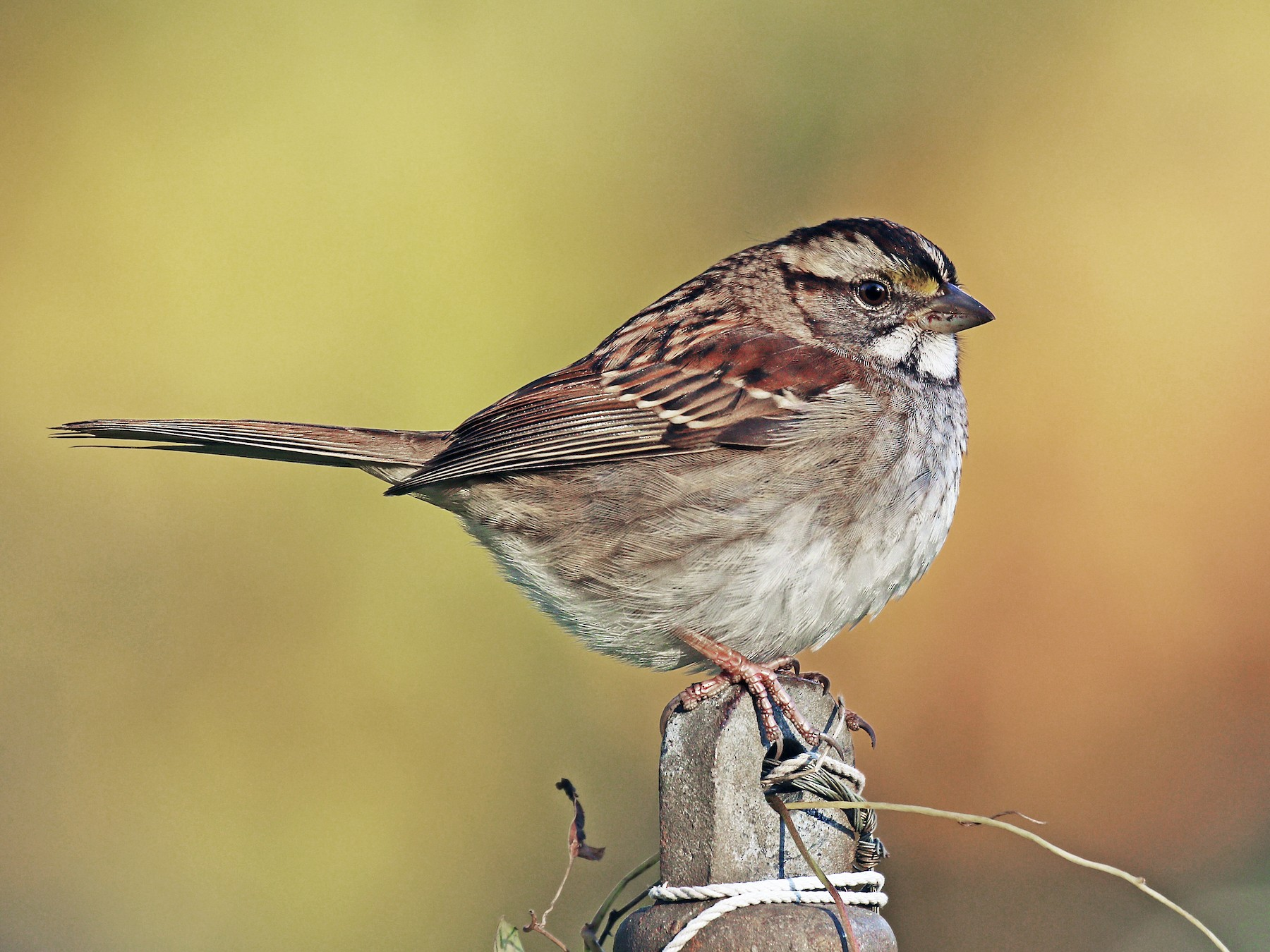White-throated Sparrow - Ryan Schain