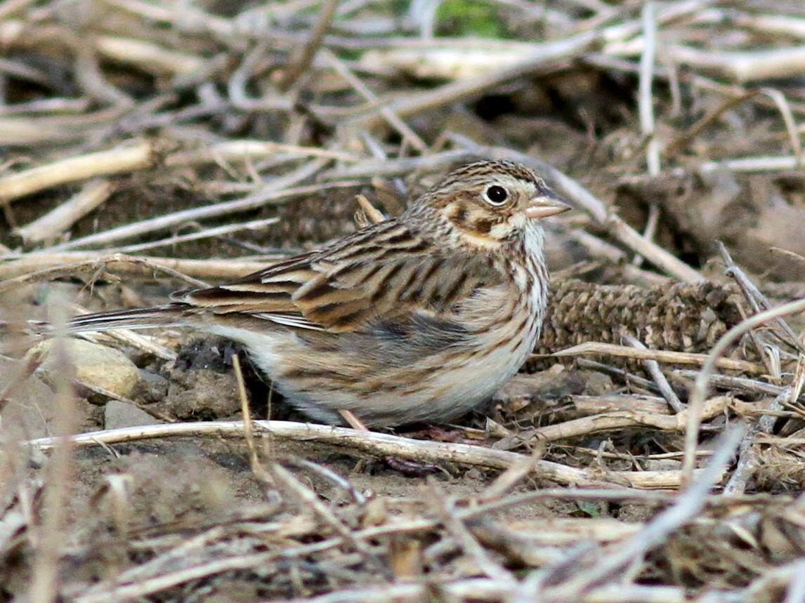 Vesper Sparrow - Jay McGowan