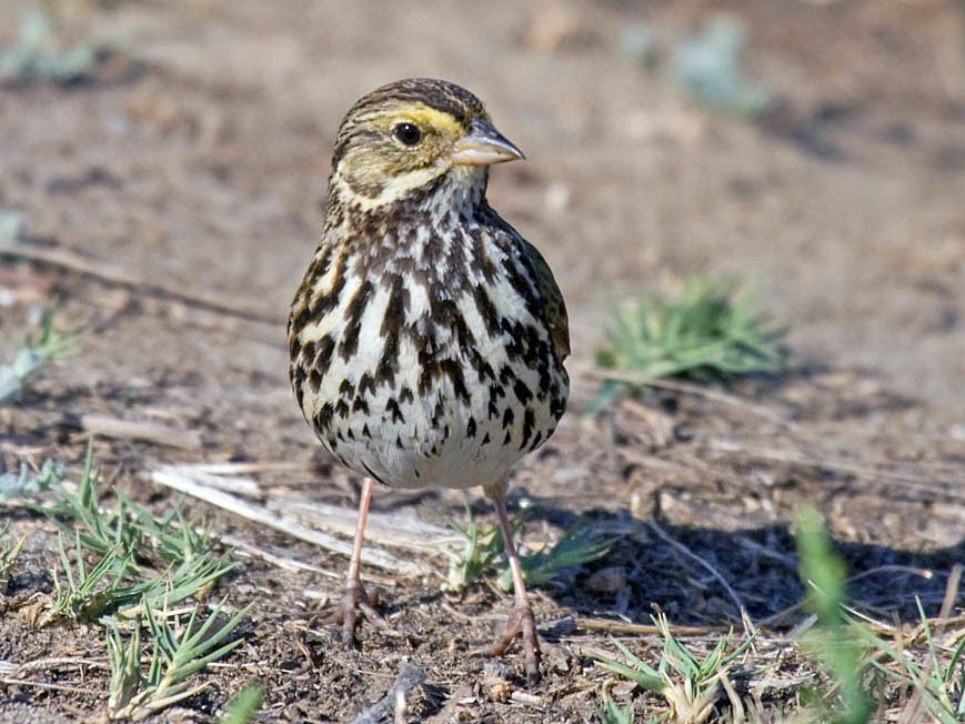 Savannah Sparrow - Greg Gillson