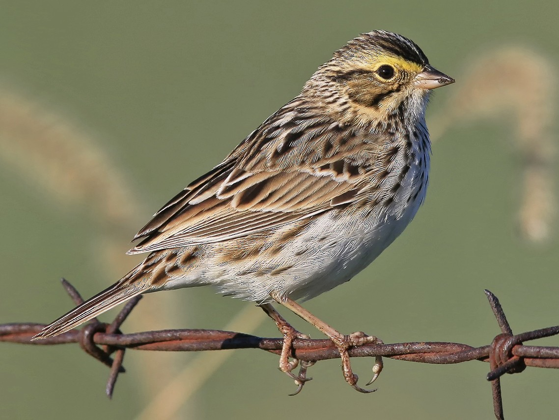 Savannah Sparrow - Don Blecha
