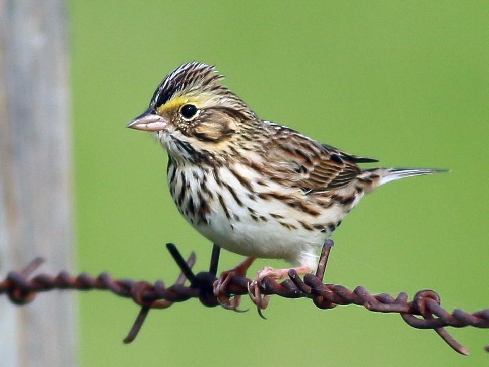Savannah Sparrow - Kirk Swenson