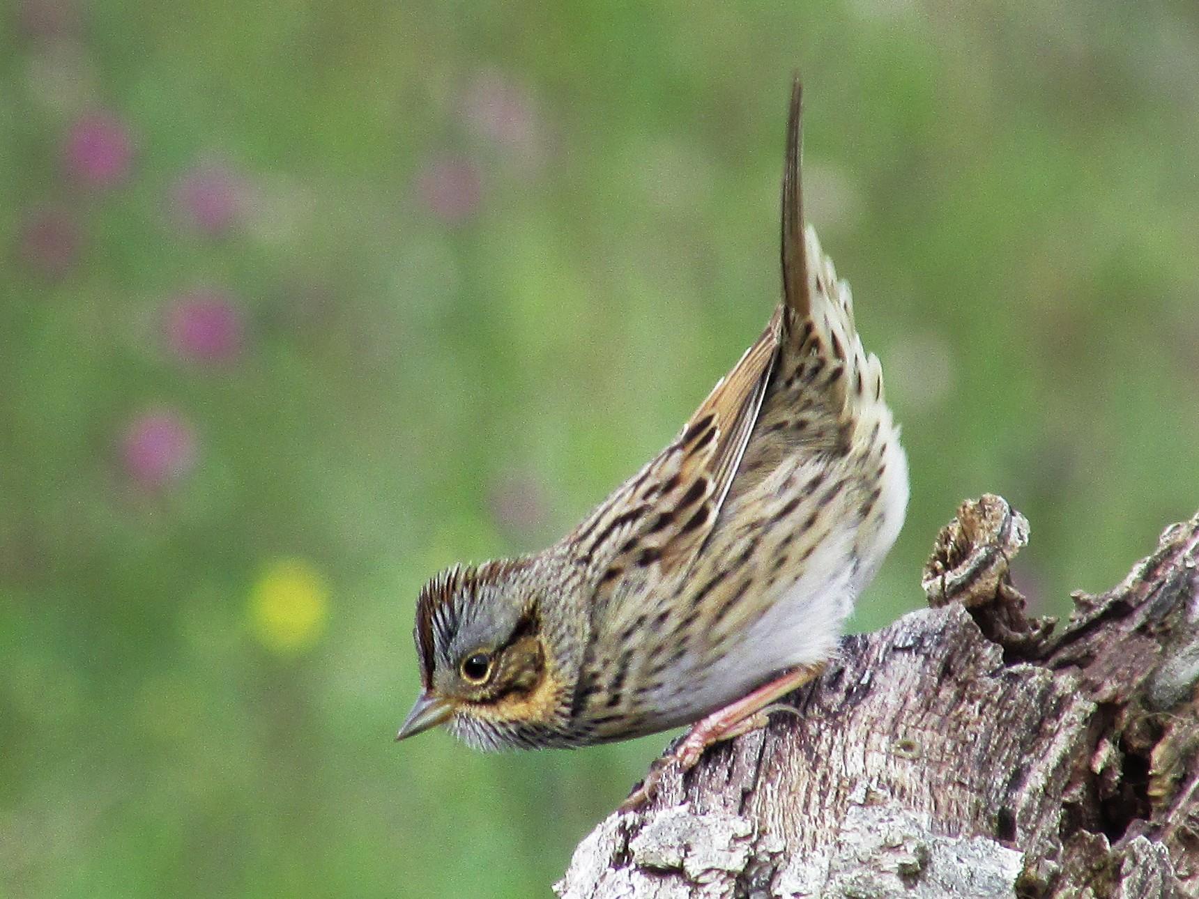 Lincoln's Sparrow - Samuel Holman