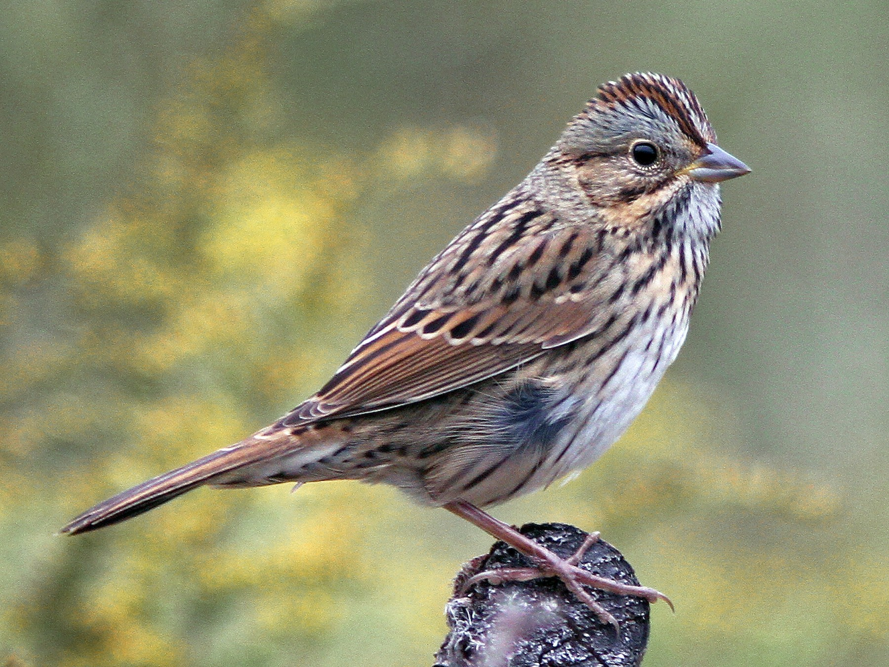 Lincoln's Sparrow - Larry Therrien