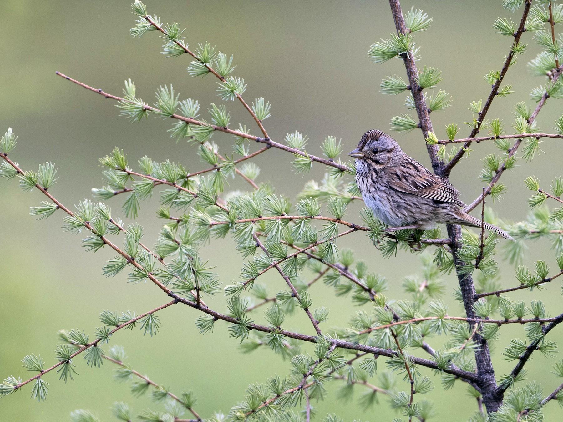 Lincoln's Sparrow - Brian Sullivan