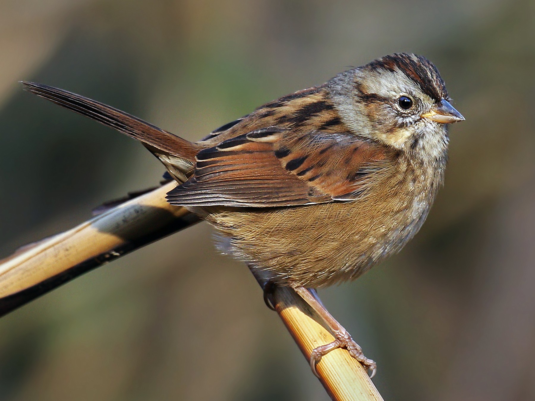 Swamp Sparrow - Ryan Schain