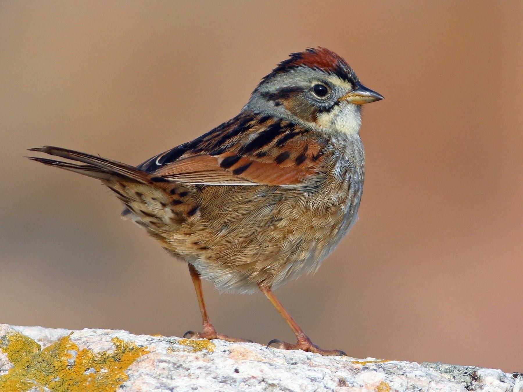 Swamp Sparrow - Keenan Yakola