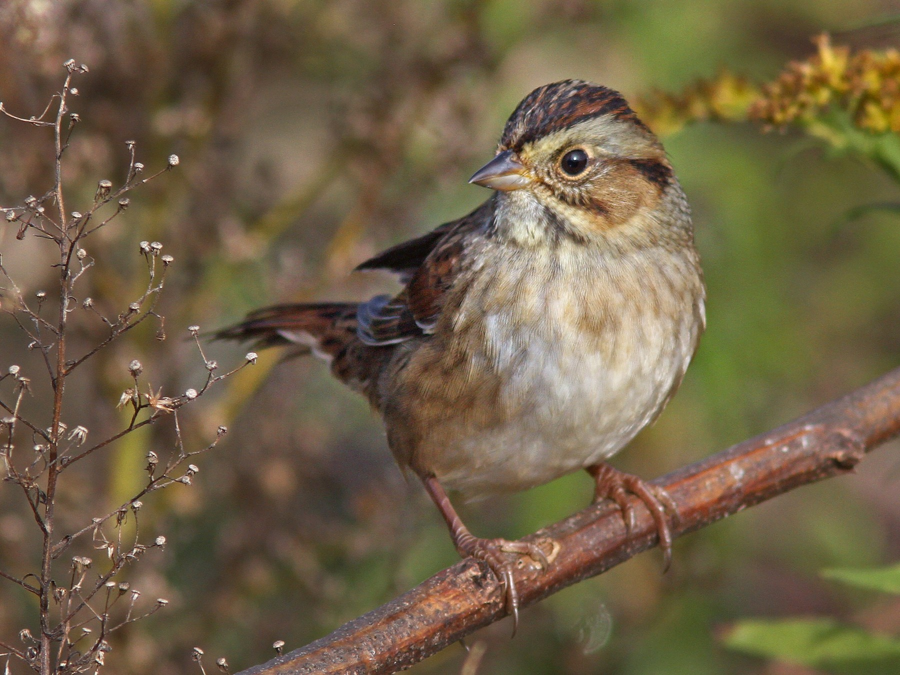 Swamp Sparrow - Larry Therrien