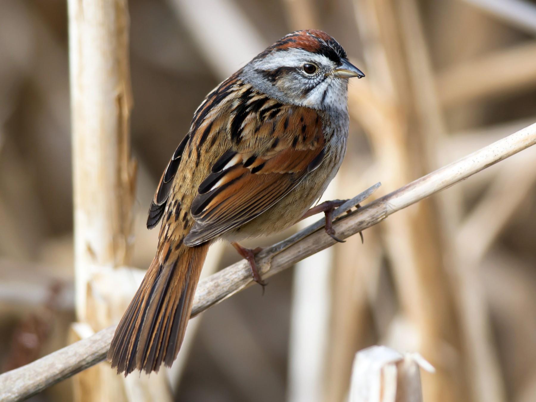 Swamp Sparrow - Alix d'Entremont