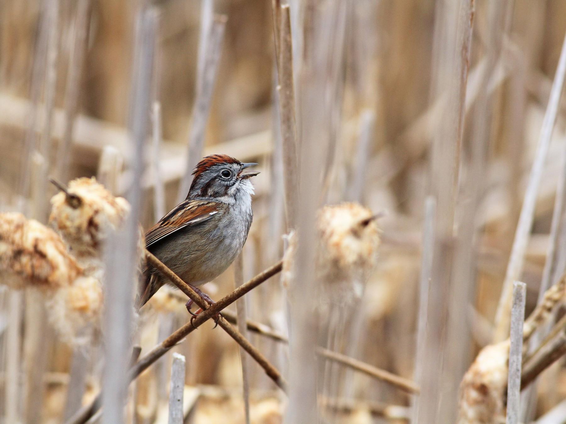 Swamp Sparrow - Evan Lipton