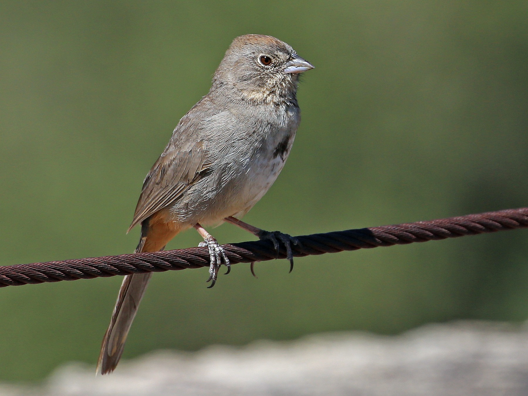 Canyon Towhee - Tim Lenz