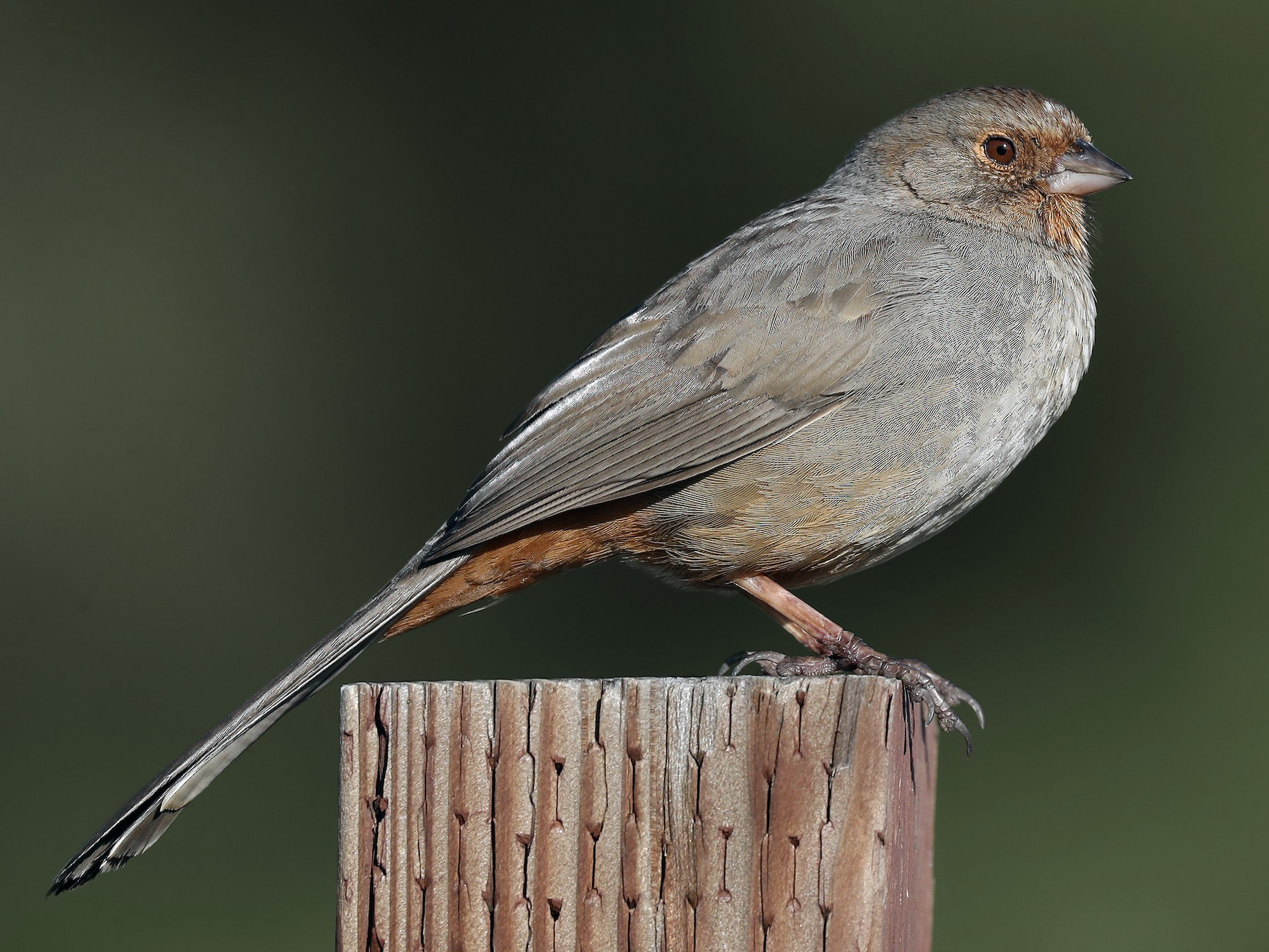 California Towhee - Matt Davis