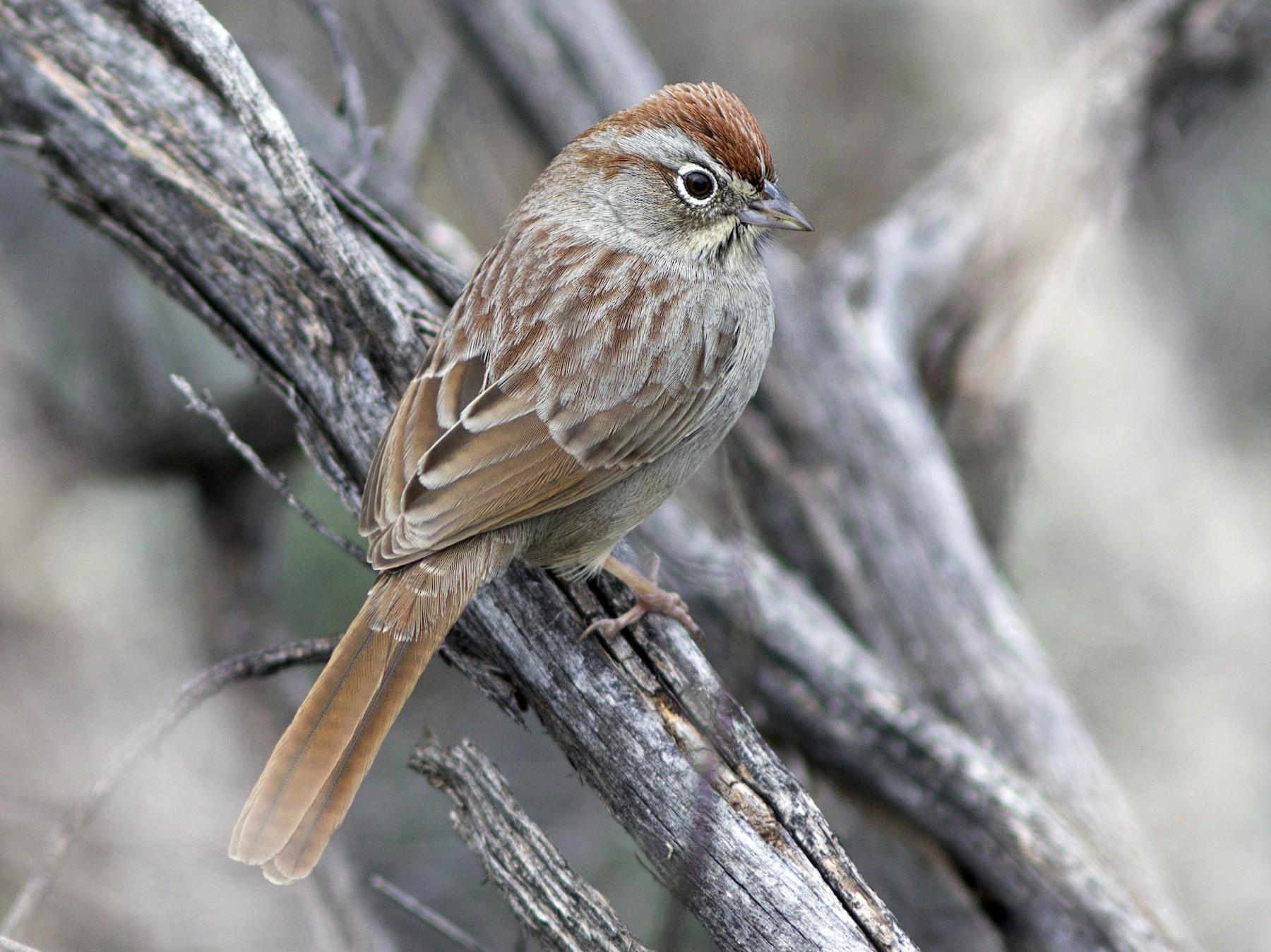 Rufous-crowned Sparrow - Doug Hitchcox