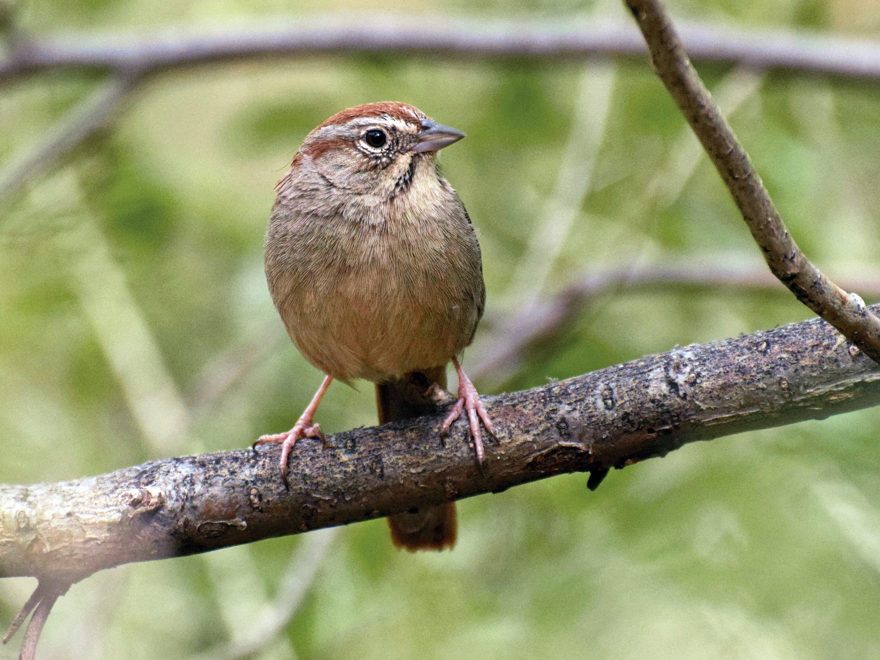 Rufous-crowned Sparrow - Kai  Mills