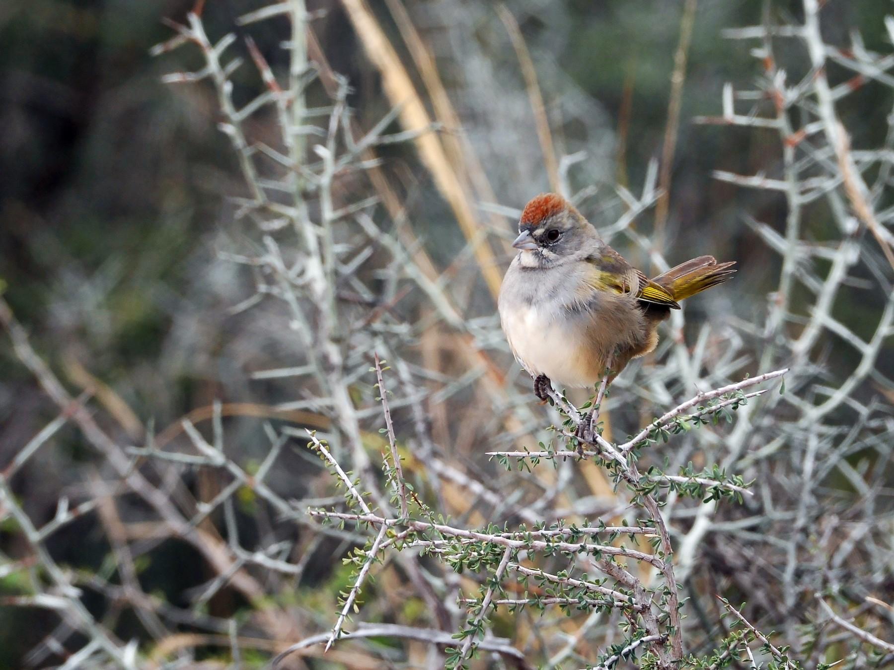 Green-tailed Towhee - Bryan Calk