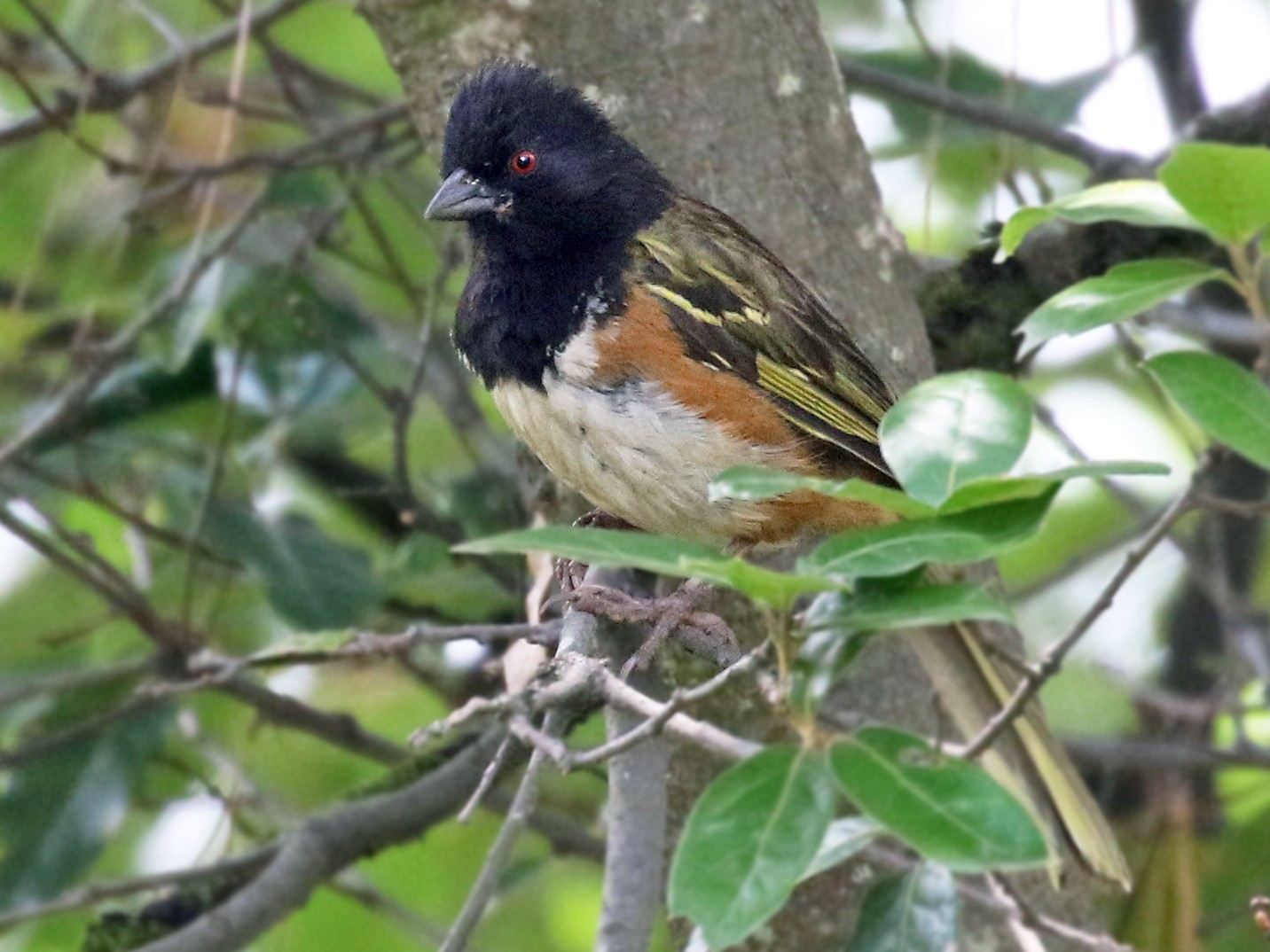 Spotted Towhee - Andrew Spencer