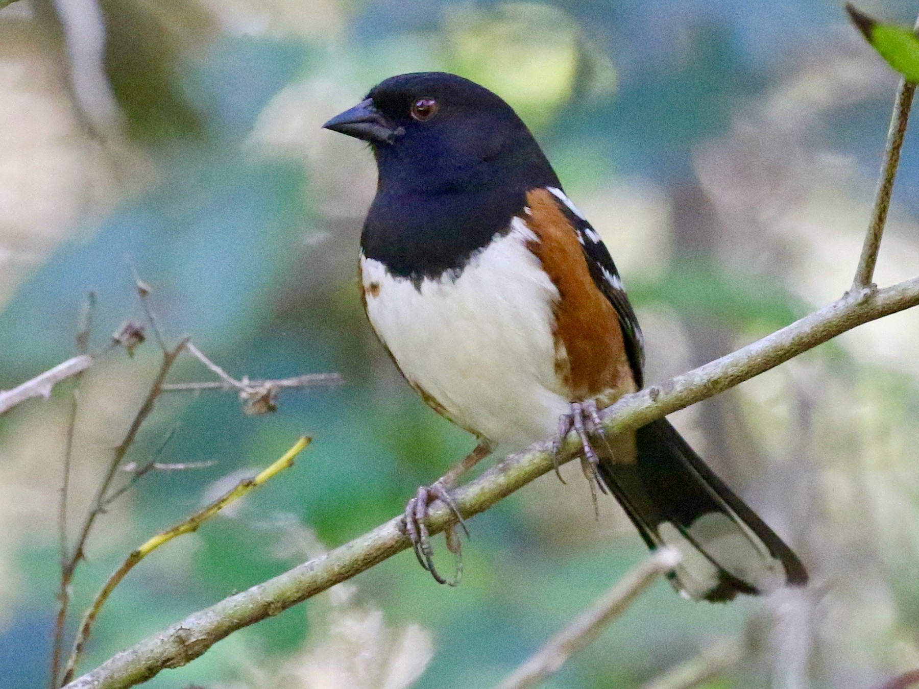 Spotted Towhee - Mark Stephenson