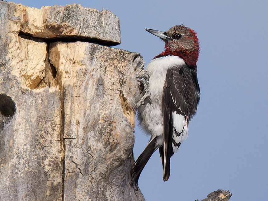 Red-headed Woodpecker - David Turgeon