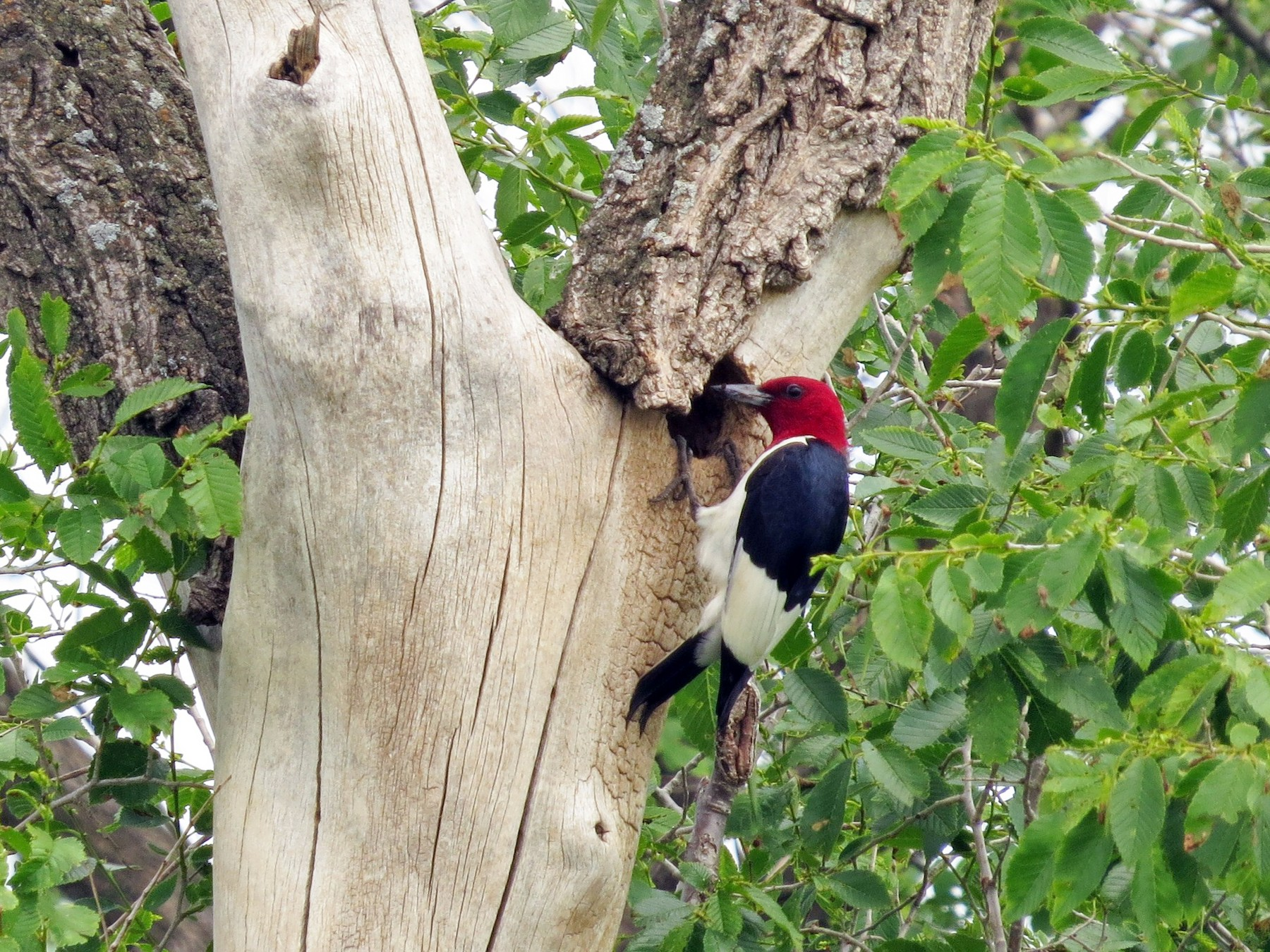 Red-headed Woodpecker - Susan Disher