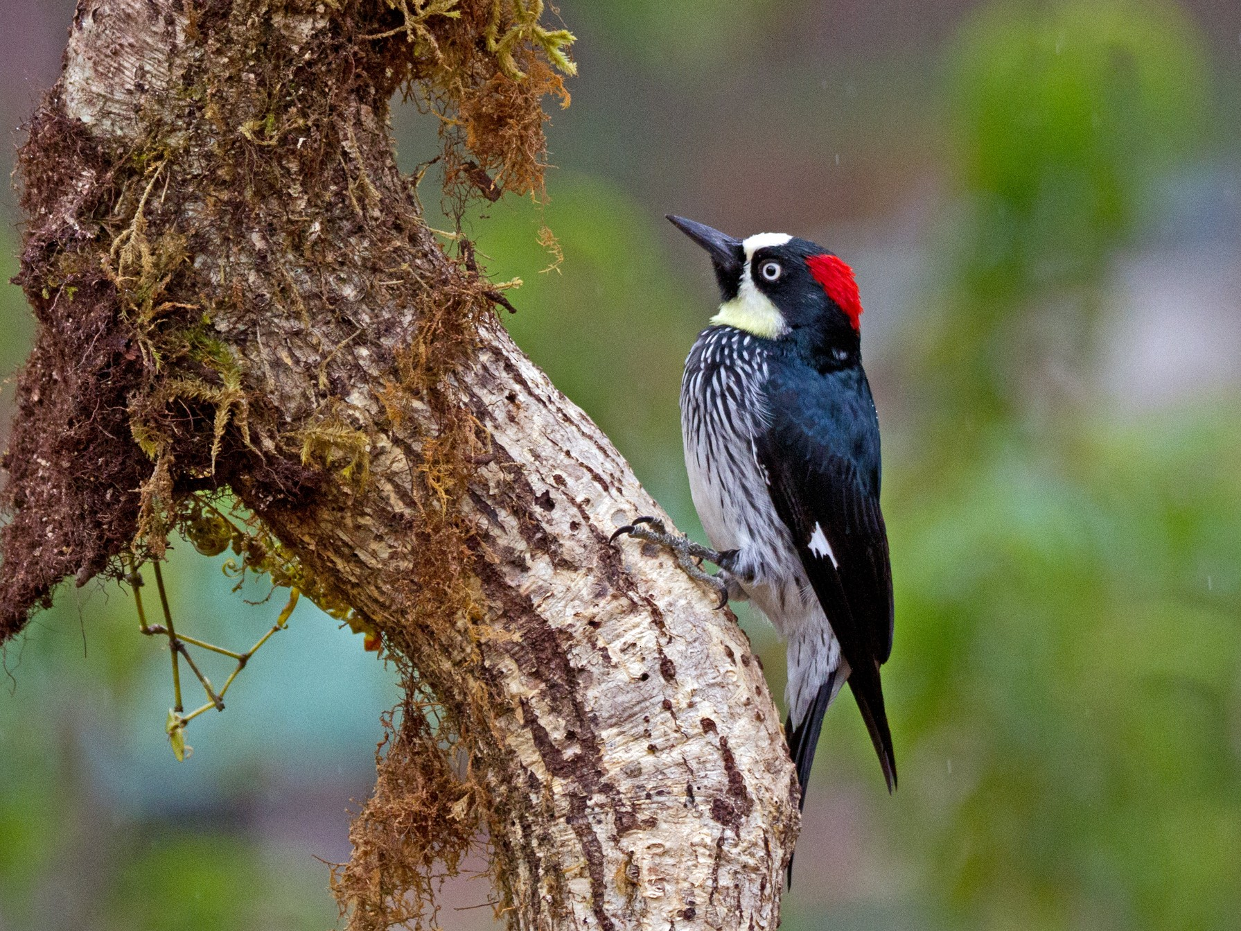 Acorn Woodpecker - Chuck Heikkinen