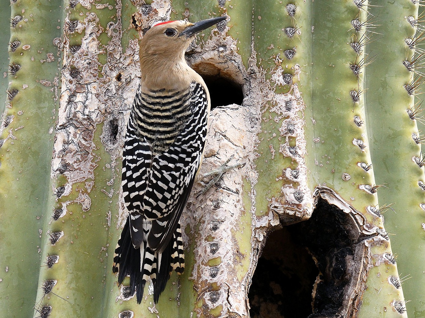 Gila Woodpecker - terence zahner