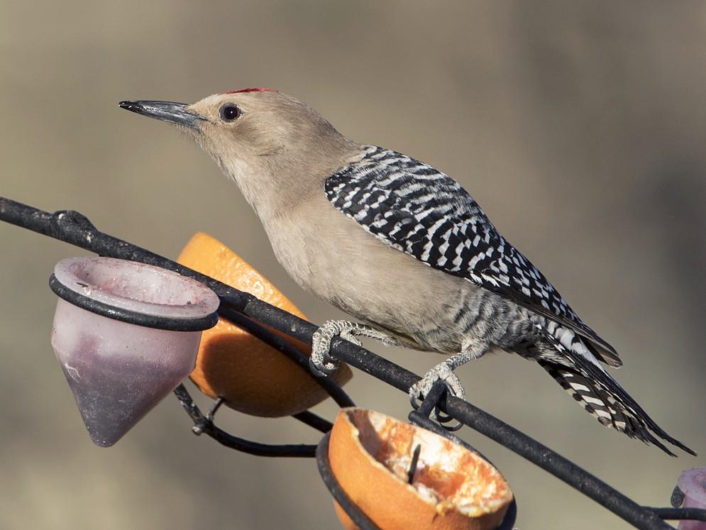 Gila Woodpecker - Arlene Ripley