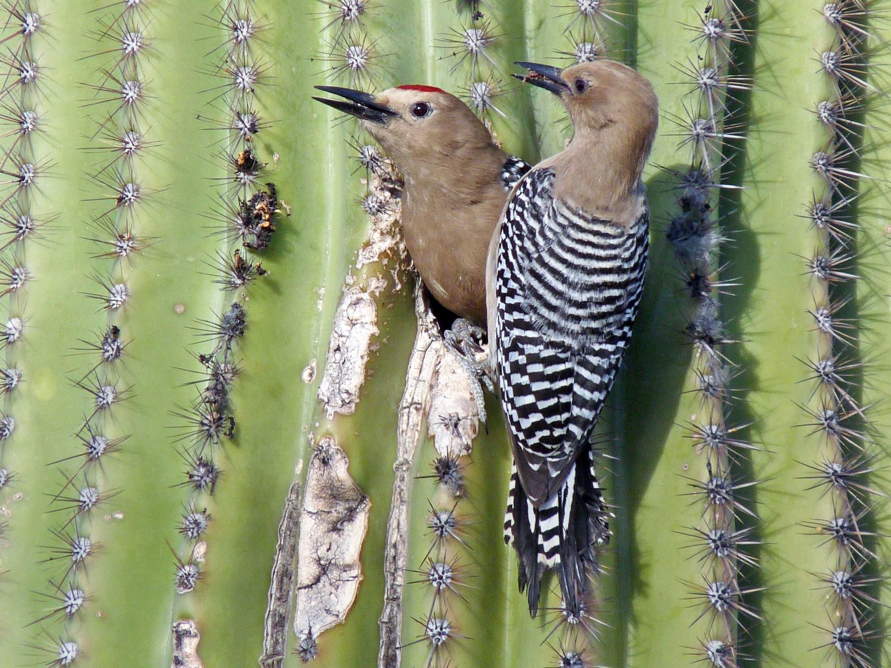 Gila Woodpecker - Tresa Moulton