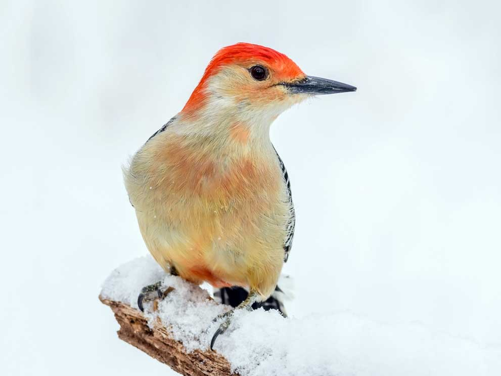Red-bellied Woodpecker - mark kraus