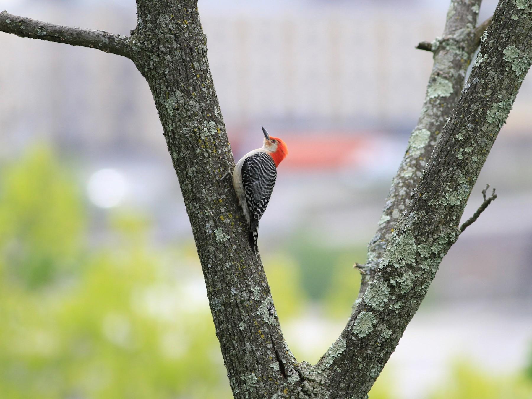 Red-bellied Woodpecker - Anupam Khanna