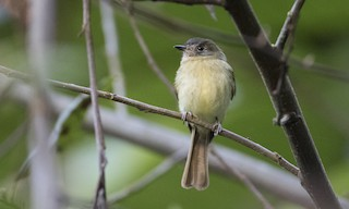 - Inca Flycatcher