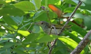- Rufous-fronted Tailorbird