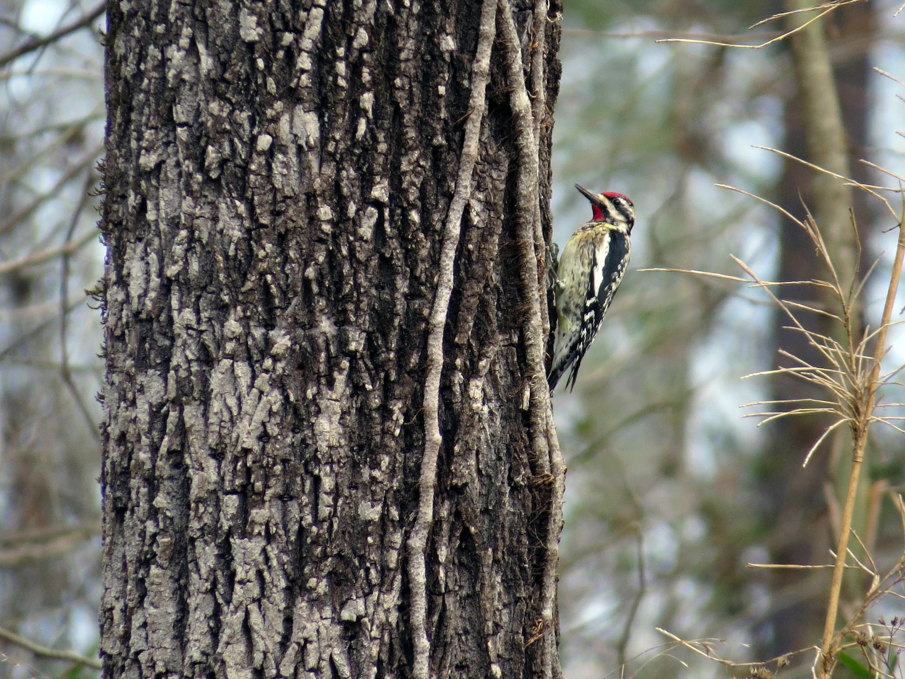 Yellow-bellied Sapsucker - Lois Stacey