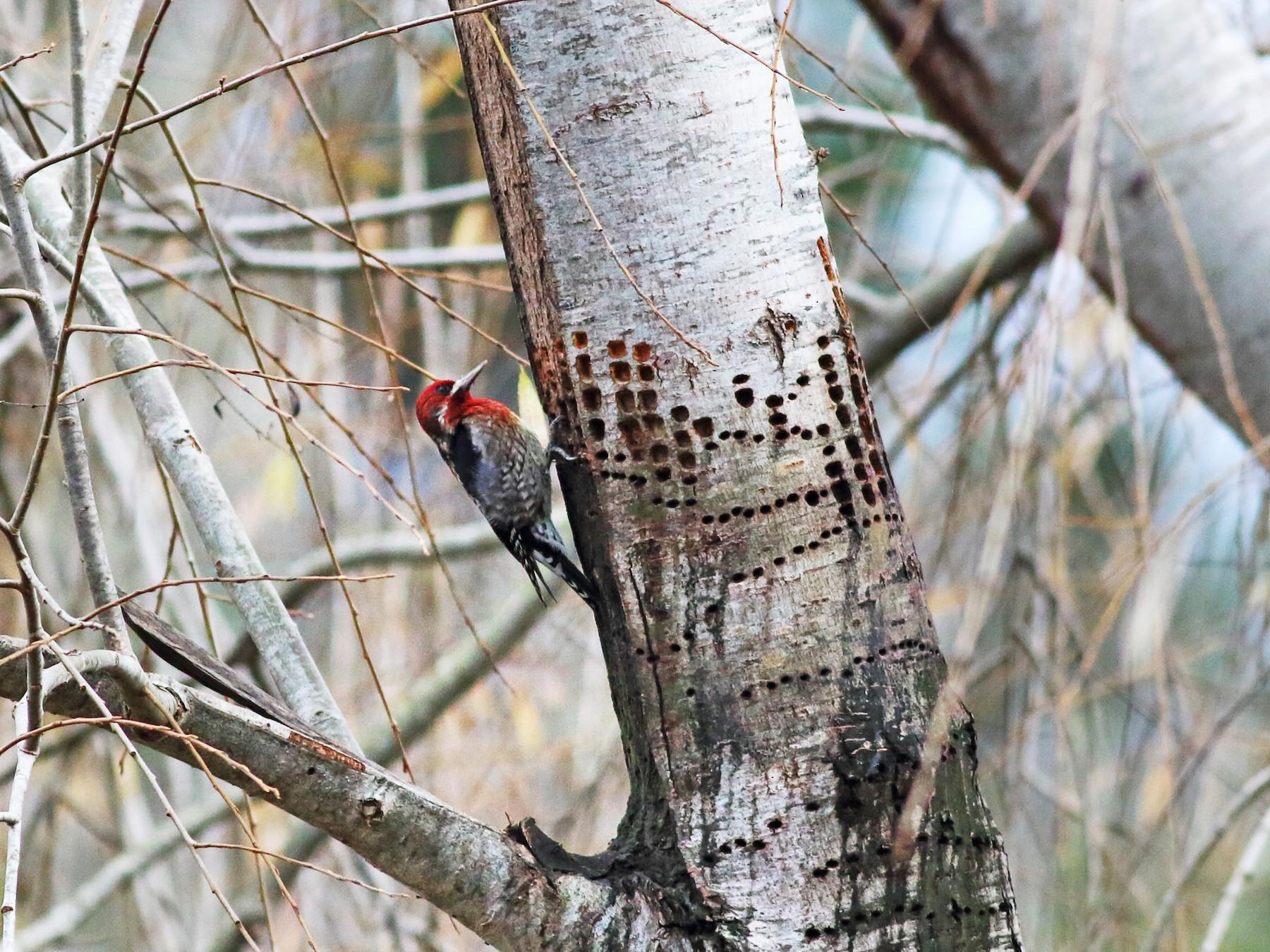 Red-breasted Sapsucker - Paul Fenwick