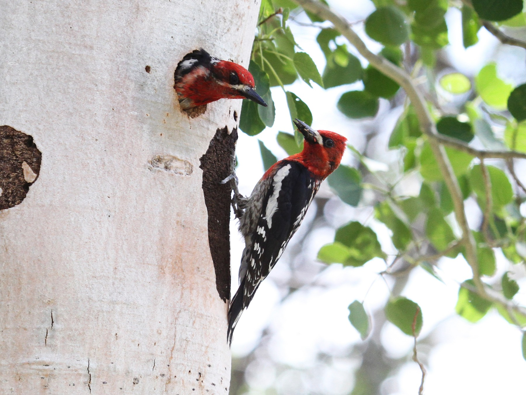 Red-breasted Sapsucker - Nick  Rosen