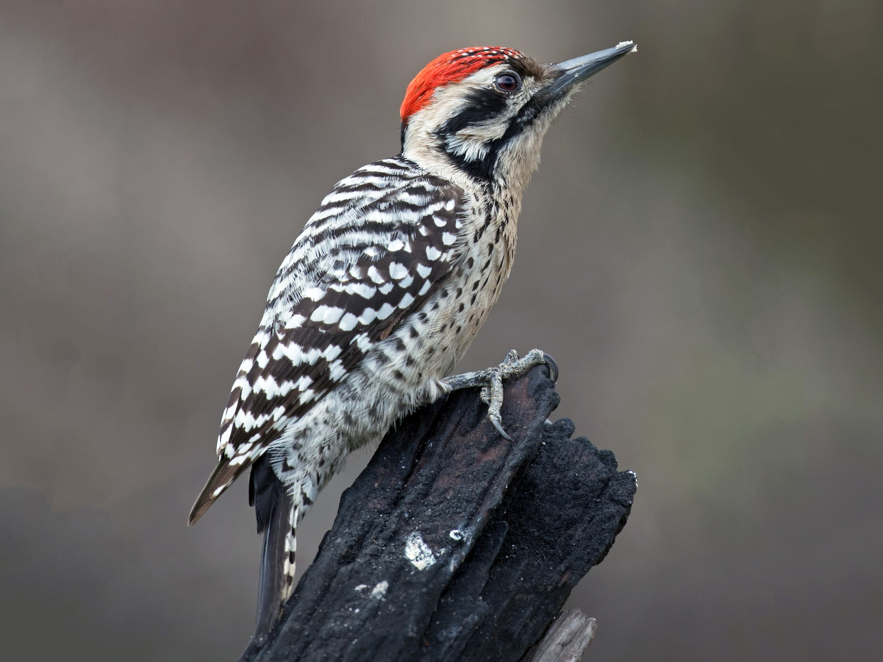 Ladder-backed Woodpecker - Edward Plumer