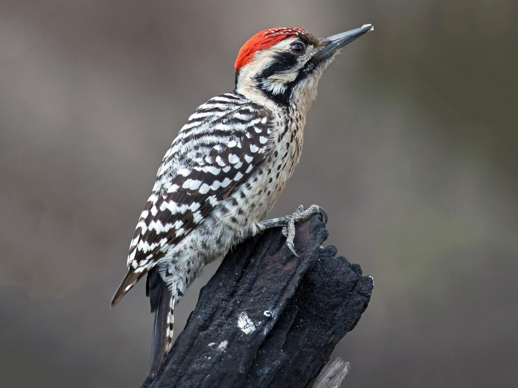 Ladder-backed Woodpecker - Edward Plumer