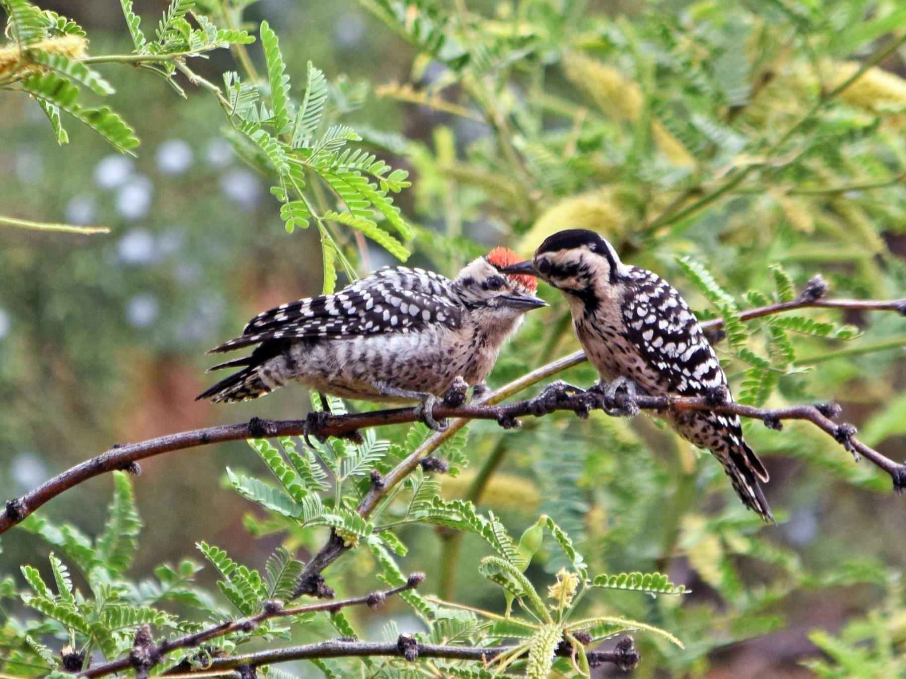 Ladder-backed Woodpecker - Raul Urgelles