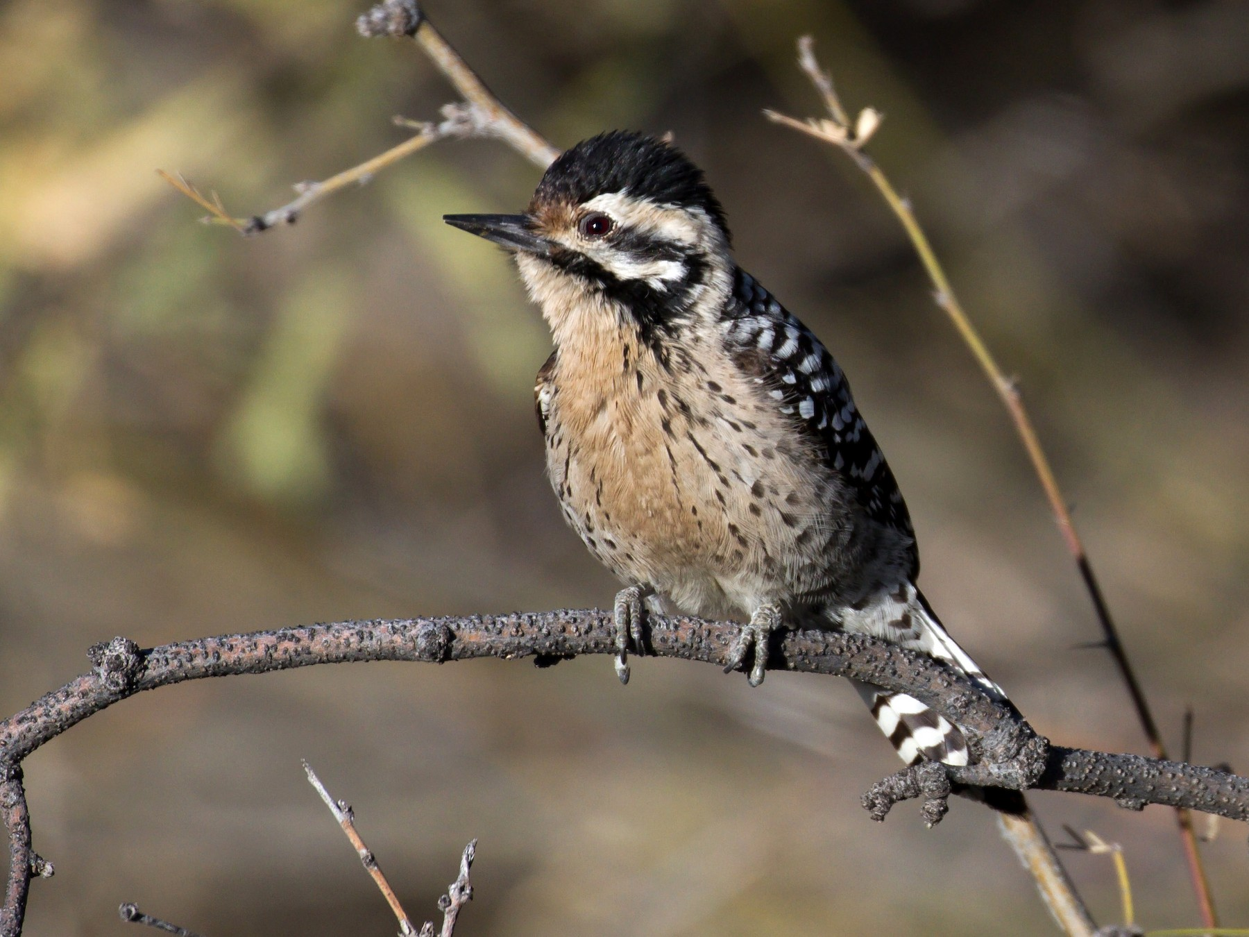 Ladder-backed Woodpecker - Joan Gellatly