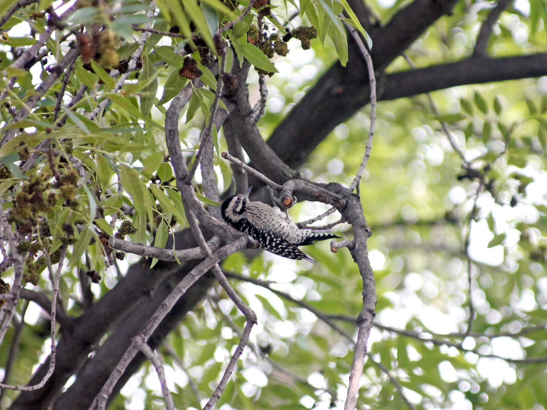 Ladder-backed Woodpecker - Alejandro  Calzada Arciniega
