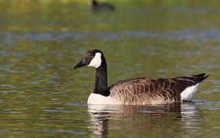 Canada Goose, ML65057071