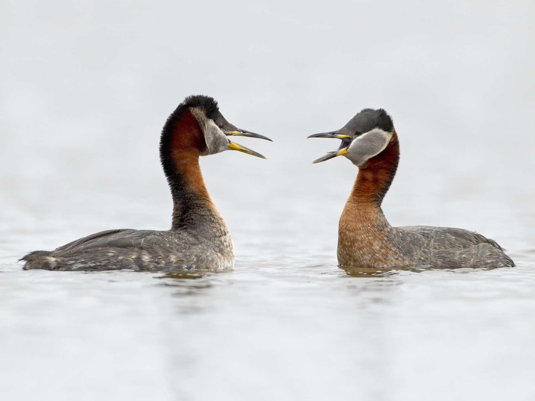 Red-necked Grebe - Brian Sullivan