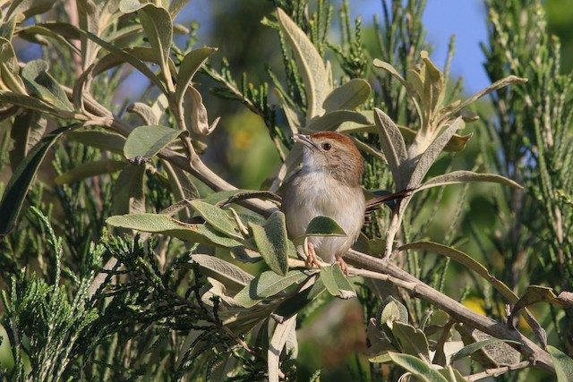 Rock-loving Cisticola